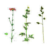 Set of watercolor and ink drawing plants. Set of watercolor and ink drawing wild flowers and herbs,  painted field plants, color floral elements, hand drawn Royalty Free Stock Photos