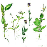 Set of watercolor and ink drawing plants. Set of watercolor and ink drawing wild flowers and herbs,  painted field plants, color floral elements, hand drawn Stock Photos
