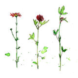 Set of watercolor and ink drawing plants. Set of watercolor and ink drawing wild flowers and herbs,  painted field plants, color floral elements, hand drawn Royalty Free Stock Photo