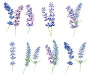 Set of watercolor lavender flowers. On white background.  Isolated floral elements for design Stock Images