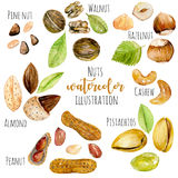 Set of watercolor nuts. Hand painted isolated on a white background Royalty Free Stock Photography