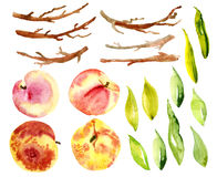 Set watercolor peaches, fruit, leaves, branches. Royalty Free Stock Image