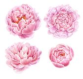 Set of watercolor peonies isolated on white background. Royalty Free Stock Photos