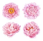 Set of watercolor peonies isolated on white background. stock illustration