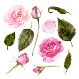 Set of watercolor pink roses, buds, leaves. Different size rosebuds and leaves stock illustration