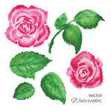 Set of watercolor roses and green leaves Royalty Free Stock Photography
