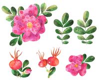 Set of watercolor stylized dog roses elements flowers, leaves, rose hip