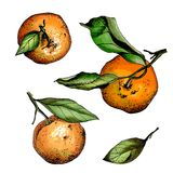 Set of watercolor tangerines Royalty Free Stock Image