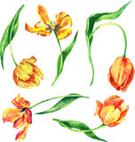 Set of watercolor tulips Royalty Free Stock Photo
