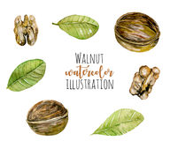 Set of watercolor walnuts elements. Hand painted isolated on a white background Stock Image