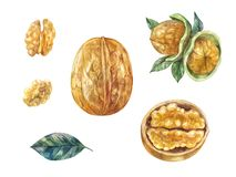 Set of watercolor walnuts. Whole and half,  in shell. Watercolor nuts in shell. Wallnuts illustration, set isolated on white. Healthy food Stock Photo