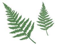 Set wektor zieleni paproć odizolowywająca na bielu ilustracji