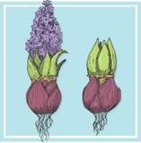 Set wektorowej grafiki ilustracja hiacyntowi kwiaty Botaniczny set retro set zdjęcie stock