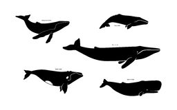 Set of whale species icons. Vector illustration isolated on white background. Royalty Free Stock Photography