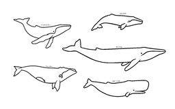 Set of whale species icons. Vector illustration  on white background. Stock Photography