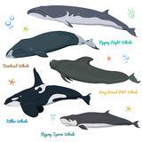 Set of Whales from the world Killer Whale Pygmy Sperm Whale, Bowhead whale, Pygmy Right Whale, long-finned pilot whale Royalty Free Stock Photo