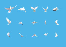 Set of white doves flying isolated on blue. Set of flying doves isolated on blue background royalty free stock images