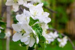 Set white flower colorful peach apricot fruit trees close-up background spring garden stock photos