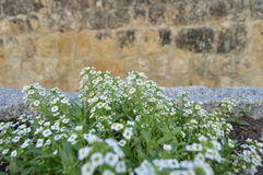 Set of white flowers in old  Street Stock Photography