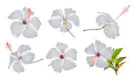 Set of white hibiscus or chaba flower isolated on white Stock Images