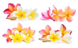 Set of white and pink frangipani plumeria flower isolated Royalty Free Stock Photos