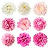 Set of white and pink peony flowers Stock Images