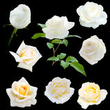 Set of  white roses Stock Photography