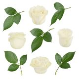 Set with and white roses and leaves. As design elements. Royalty Free Stock Image