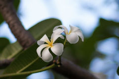 A set of white and yellow plumeria frangipani flowers on the tree in Thailand. Close up with bokeh Royalty Free Stock Photos