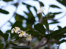 A set of white and yellow plumeria frangipani flowers on the tree in Thailand. Close up with bokeh Stock Photo