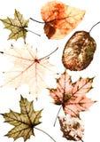 Set wiele jaskrawi barwiący starzy obdrapani jesień liście o zdjęcie stock