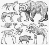 Set of Wild animals. Brown Grizzly Bear Forest Moose Red Fox North Boar Wolf Sable Badger Gray Hare Reindeer River otter. Vintage monochrome Mammal and royalty free illustration