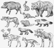 Set of Wild animals. Brown Grizzly Bear Forest Moose Red Fox North Boar Wolf Sable Badger Gray Hare Reindeer River otter. Vintage monochrome Mammal and stock illustration