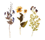 Set of wild dry pressed flowers and leaves Royalty Free Stock Photo