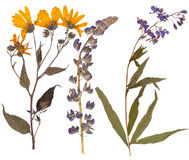 Set of wild dry pressed flowers and leaves Royalty Free Stock Image