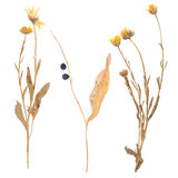 Set of wild dry pressed flowers and leaves Royalty Free Stock Photos
