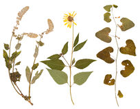 Set of wild dry pressed flowers and leaves Stock Image