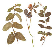 Set of wild dry pressed flowers and leaves Royalty Free Stock Photography