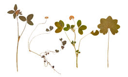 Set of wild dry pressed flowers and leaves Royalty Free Stock Images