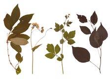 Set of wild dry pressed plants Stock Images