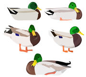 Set of wild ducks Royalty Free Stock Images
