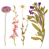 Set of wild flowers pressed Stock Images