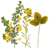Set of wild flowers pressed Royalty Free Stock Images
