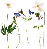 Set of wild flowers pressed Stock Photography