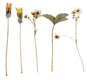 Set of wild flowers pressed Stock Photos