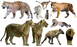Set of wild mammals isolated over white Stock Photos