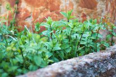 Set of wild mint herbs. An intense green color in the middle of the wild field stock images