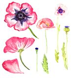 Set of wild pink poppies variety. Pink wild poppies collection, isolated on white hand painted watercolor illustration Royalty Free Stock Photo