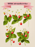 Set of wild strawberries Stock Images