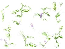 Set of wild vetch Stock Images